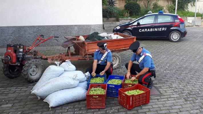 Furto di oltre 500 chili di olive pregiatissime nel Catanese: in manette un 41enne, denunciato un 17enne