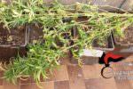 Quattro piante di canapa indiana nel balcone: 30enne denunciato per coltivazione di cannabis