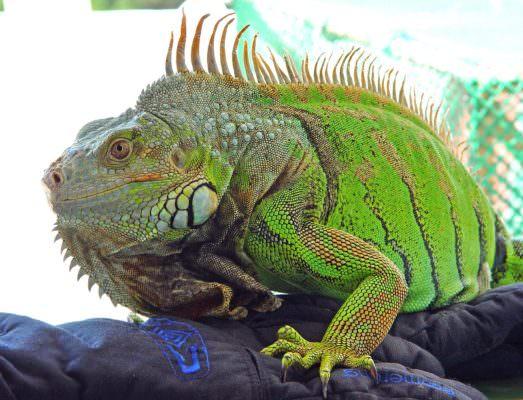 """""""Guarda, c'è un geco sul muro"""", invece era un'iguana: curiosa scoperta in villa, intervento dei pompieri"""