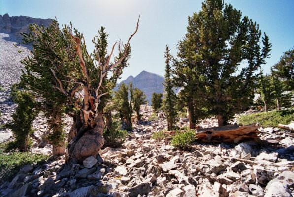 Pinus longaeva, l'albero che contiene l'enzima della longevità: la telomerasi per combattere invecchiamento e cancro?