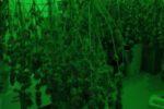 Coltivavano marijuana in una serra con un sistema ad hoc: arrestati due fratelli