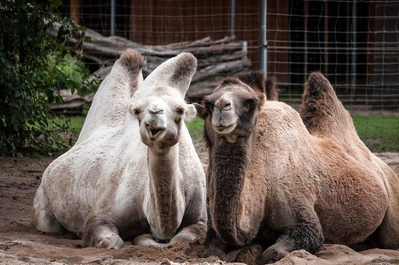 L'Australia continua a perdere i suoi figli: clima insostenibile, previsto l'abbattimento di circa 10mila cammelli