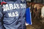 Oltre 300 chili di formaggi sequestrati, nel mirino un allevamento con caseificio: arrestato il titolare e chiuso lo stabilimento