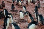 """Pinguini costretti a camminare sul fango, polo sud """"in ginocchio"""" per le alte temperature"""