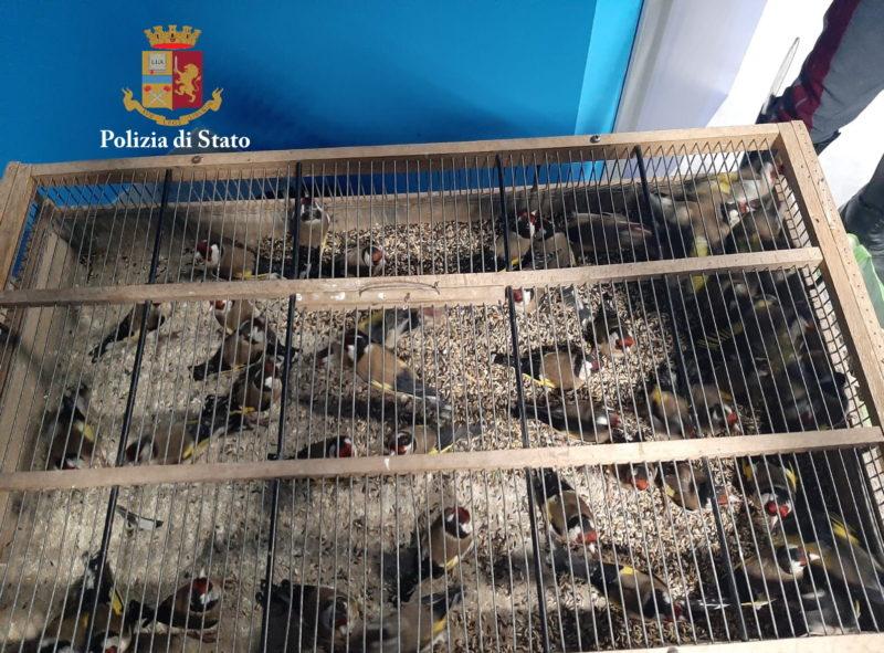 Cardellini trasportati in condizioni di privazioni, denunciati due uomini per maltrattamento di animali