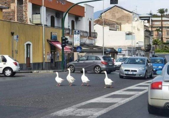 Catania, nemmeno gli animali rispettano la quarantena: oche immortalate a passeggio al Lungomare