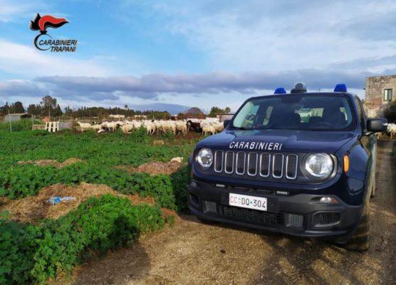 Carcasse di agnellini di 3 mesi a testa in giù pronti per macellazione clandestina: arrestato 64enne