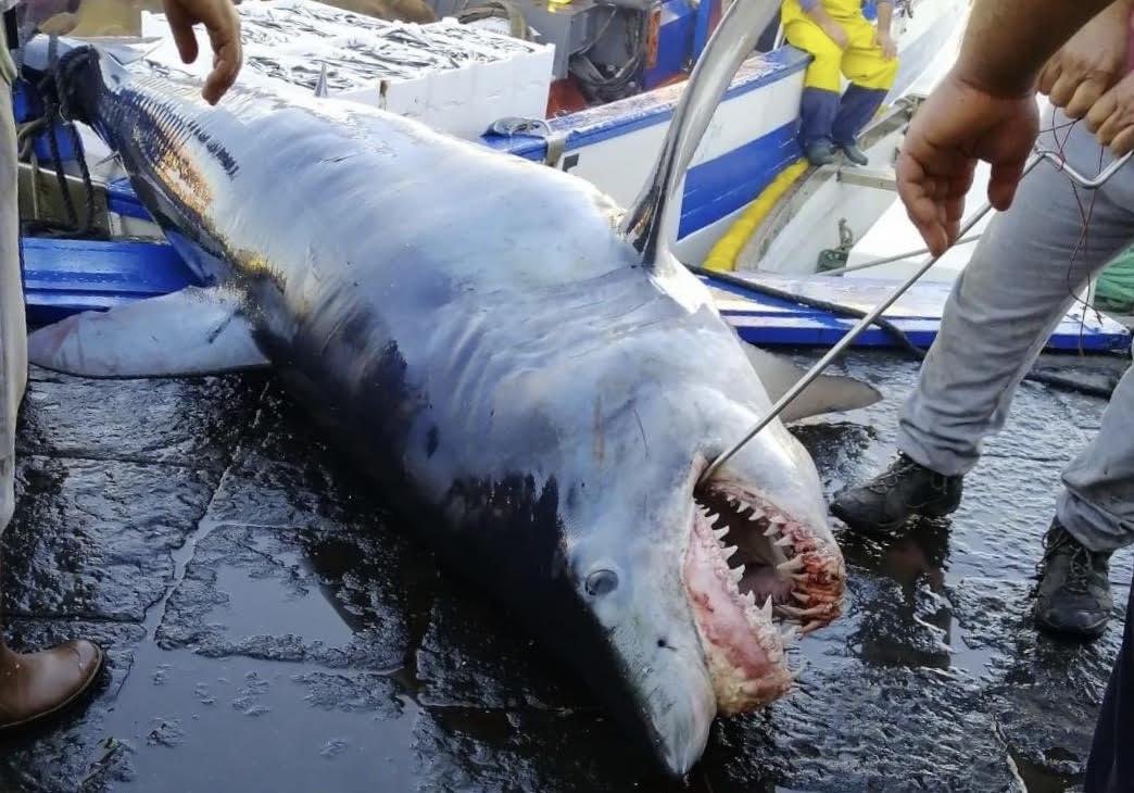 Lo squalo Mako di Catania, l'arrivo al porticciolo di Ognina – IL VIDEO