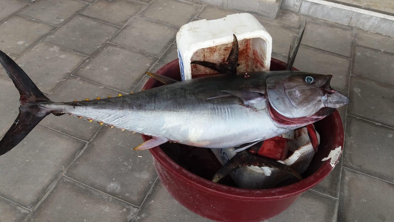 Siringa nello stomaco di un tonno di 10 kg