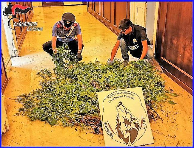 Coltivazione di marijuana a suon di musica, così il catanese Rosario Piacente è stato arrestato – FOTO e VIDEO