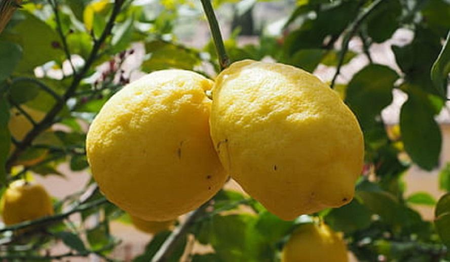 """Catania, respinti due containers di limoni argentini infestati da un pericoloso parassita """"macchia nera"""""""