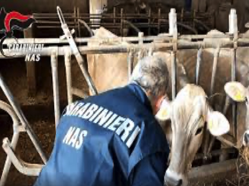 Dal bestiame sottoposto a trattamenti terapeutici abusivi ad acquisto illecito di medicinali online: denunciati allevatori