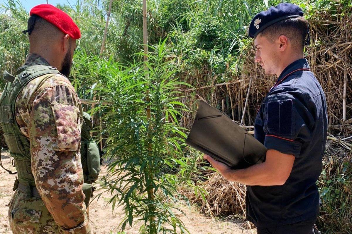 """Coltivazione di cannabis tra i canneti incolti nel Catanese: arrestato """"coltivatore"""" 34enne"""