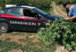 Era impegnato a irrigare piante di marijuana, ma i carabinieri lo scoprono: arrestato 59enne