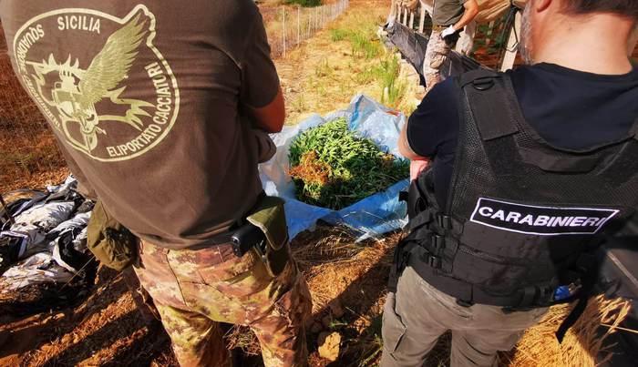 Tra le zucchine nella serra coltivava cannabis: in manette egiziano senza permesso di soggiorno