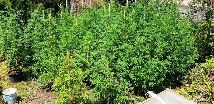 Usa ospedale del Catanese abbandonato per piantare marijuana: trova i carabinieri nascosti tra le foglie