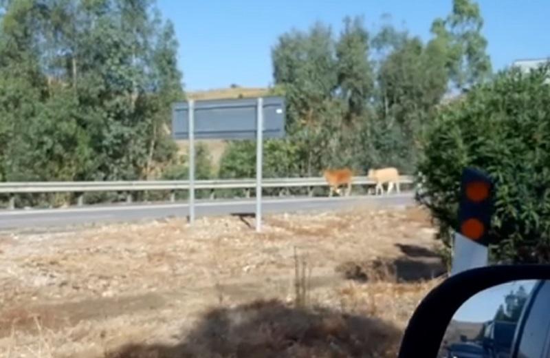 Sorpresa sulla Palermo-Catania, due vitelli pascolano in autostrada: polizia li mette in salvo