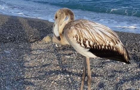 Spiaggia di San Marco, una meraviglia naturale incanta i bagnanti: avvistato e recuperato fenicottero