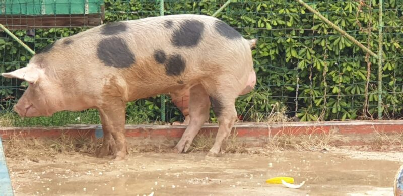 Vagava da giorni in strada, messo in salvo suino allo Zen: animale affidato a un allevatore