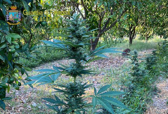 Coltivazione con oltre 700 piante di canapa indiana in un fondo agricolo: in manette 43enne – VIDEO