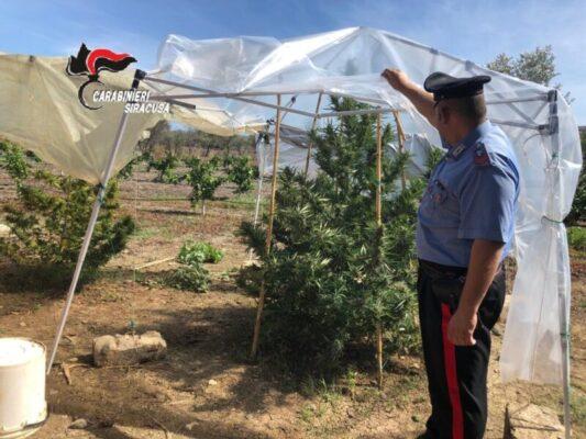 Piantagioni di canapa alte 2 metri in mezzo ai boschi: continuano i controlli dei carabinieri