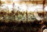 Catania, 63 piante di cannabis e allaccio abusivo all'illuminazione: 56enne in manette