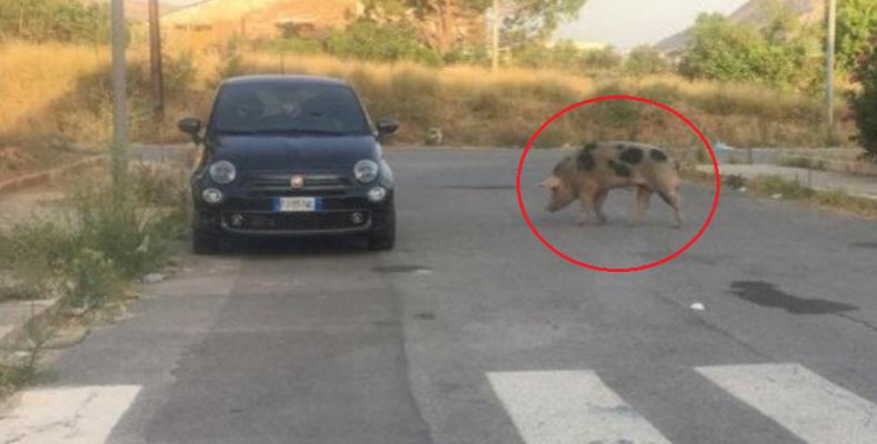 Strano avvistamento in strada, cinghiale passeggia per il quartiere: un pericolo per i passanti