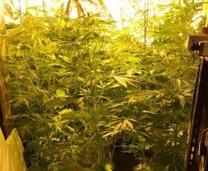 Marijuana coltivata in casa, finisce ai domiciliari Alessandro Marino