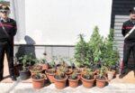 """Erba """"speciale"""" in un terreno del Catanese, agricoltore coltivava 24 piante di marijuana: denuncia e sequestro"""