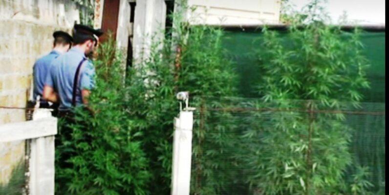 Undici piante di marijuana alte più di due metri scoperte in una abitazione: arrestato 37enne, denunciato 15enne