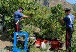 Padre e figlio trasformano terreno agricolo in una piantagione di canapa indiana: arrestati dopo blitz dei carabinieri