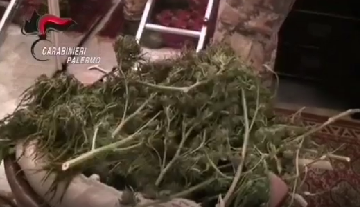 Un laboratorio della droga in casa, sequestrati 7 chili di marijuana: un arresto – VIDEO