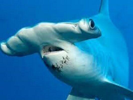 """Squali Martello, una specie pericolosa nei mari siciliani? Gli esperti: """"Attaccano solo in un caso"""""""