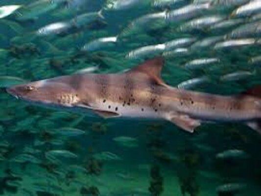 """Sicilia, dopo gli squali Martello avvistati pesci Palombo. Capitaneria di Porto: """"Livello di allerta alto ma non attaccano l'uomo"""""""