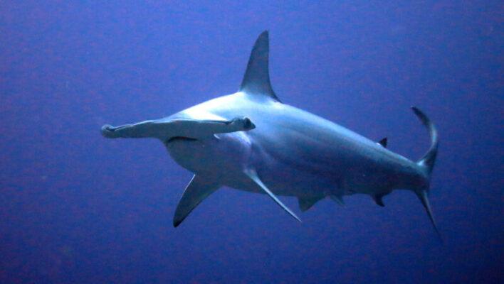 """Branco squali Martello a meno di mille metri dalla costa. Capitaneria di Porto: """"Massima attenzione"""""""