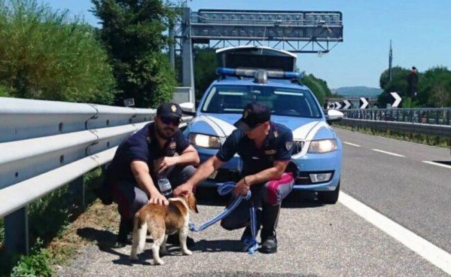 Paura in autostrada, piccolo beagle impaurito nella corsia di sorpasso: salvato dalla polizia