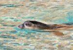 Evento naturale eccezionale in Sicilia, avvistata Foca Monaca in mare: è a rischio estinzione – VIDEO