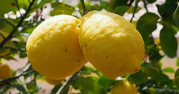"""Agricoltura in Sicilia, riconoscimento Igp per il """"Limone dell'Etna"""""""