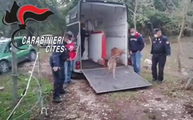 """""""Imprigiona"""" due daini all'interno di una recinzione metallica: denunciato, animali liberati – VIDEO"""