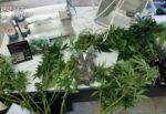"""Serra di marijuana in casa, trovate piantine e droga """"pronta"""": ai domiciliari 24enne"""