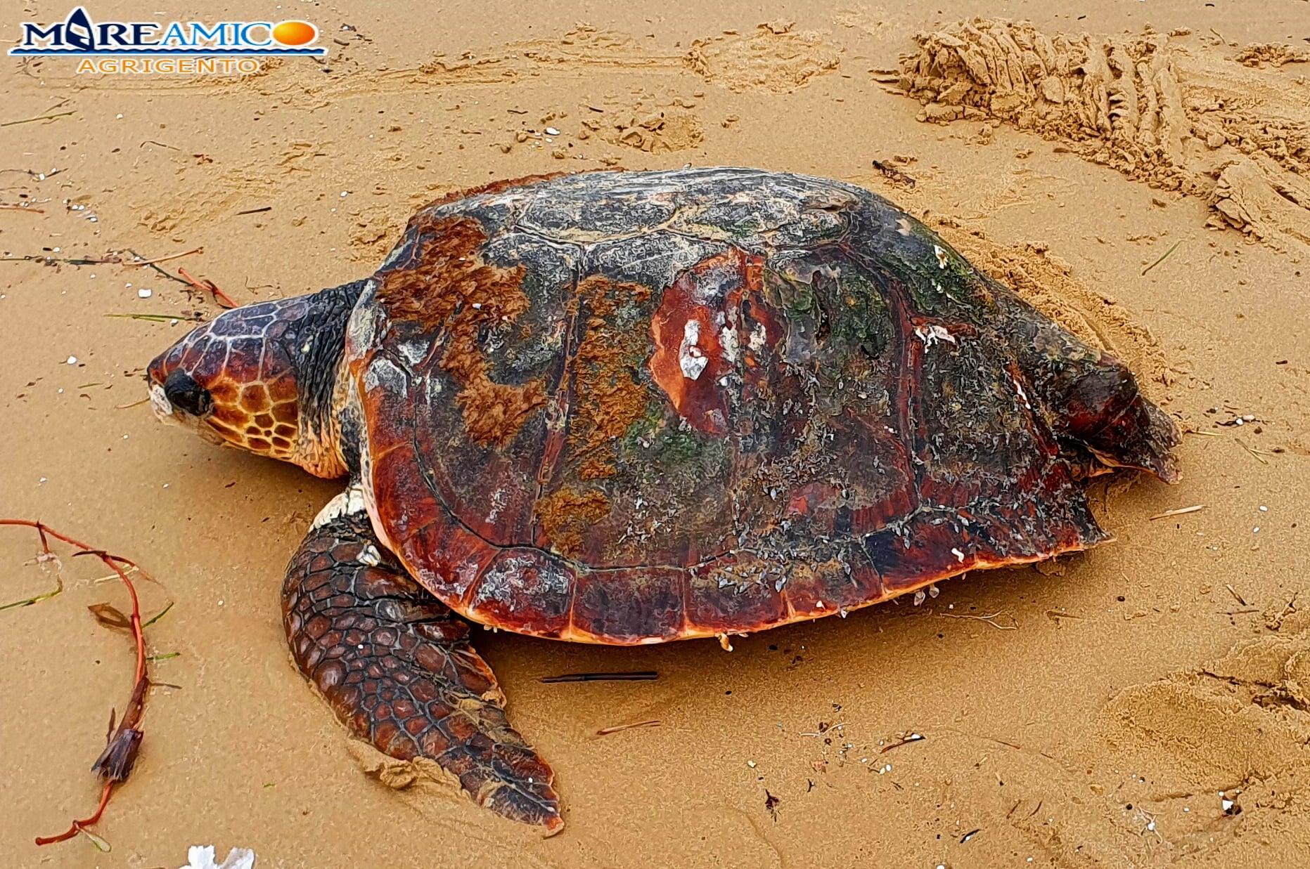 Agrigento, salvata da sicura morte una tartaruga caretta caretta – FOTO e VIDEO