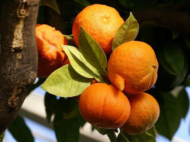 Catania, piante di arancio amaro malate in alcune vie della città: possibile l'eliminazione