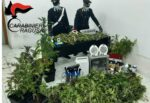 Comiso, 176 piante di marijuana nascoste in una serra: ai domiciliari una coppia – IL VIDEO