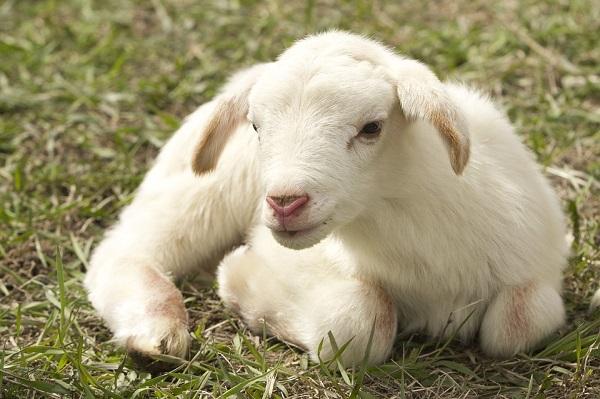 Pasqua, torna il famoso dibattito a tavola: agnello sì o no? Ecco cosa pensano gli italiani