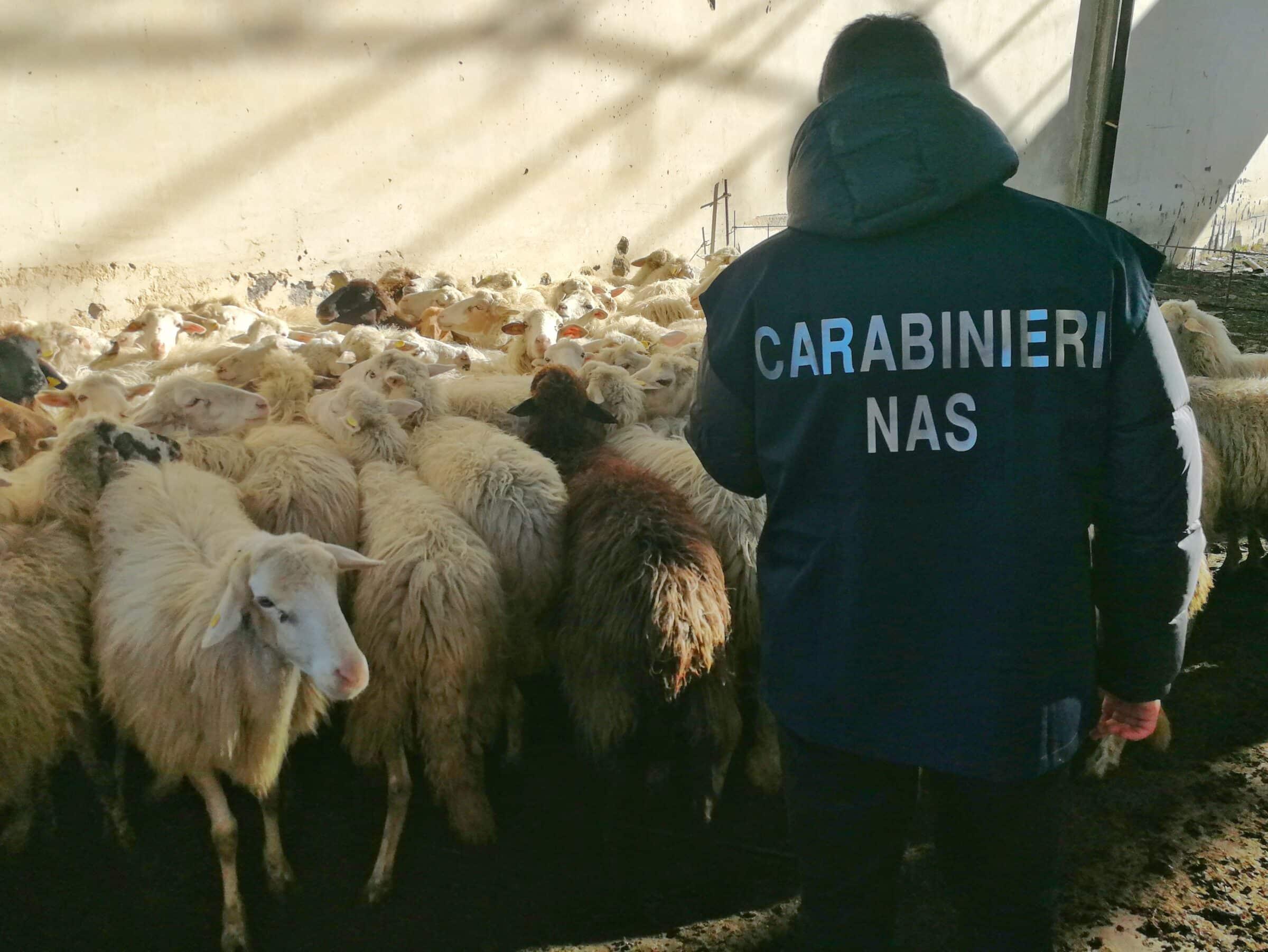 """Catania, somministrava antibiotici alle pecore senza autorizzazioni e visite: denunciato il """"pastore"""" e un veterinario complice"""