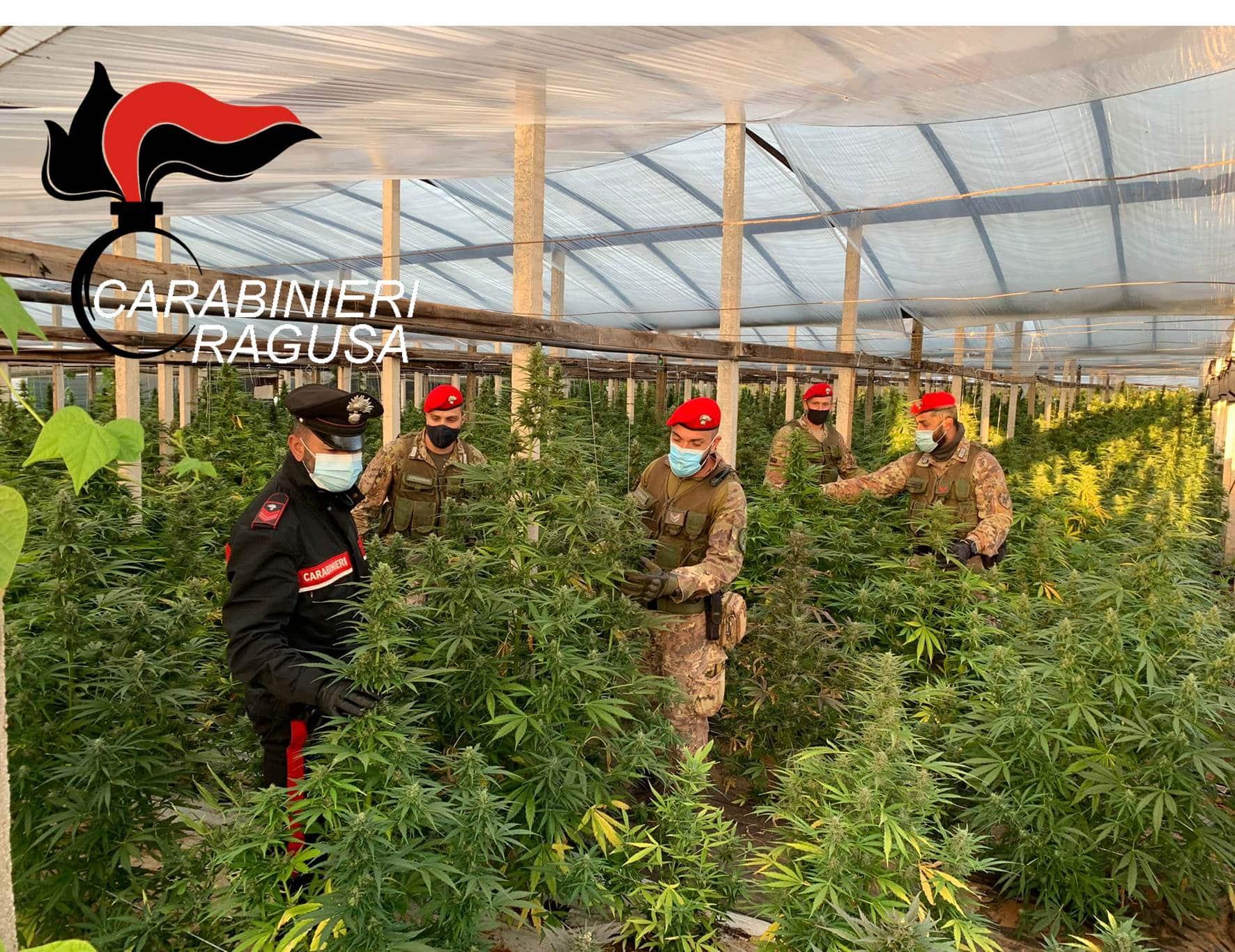 """Maxi piantagione di marijuana nelle mani di un imprenditore e di un """"dipendente"""": sequestrate oltre mille piantine – FOTO"""