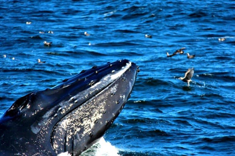 """Inghiottito da una balena, """"salvato"""" da un colpo di tosse: la storia da Cape Cod fa il giro del mondo"""