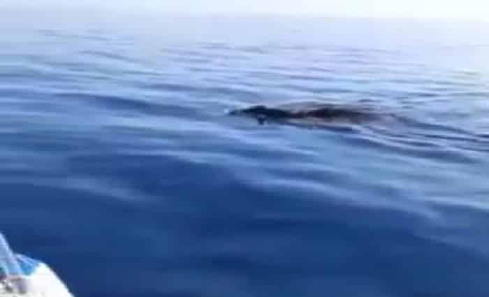 """Avvistamento """"choc"""" al largo di Marzamemi, cinghiali in mare. Pescatore: """"Vengono dall'Africa"""" – VIDEO"""