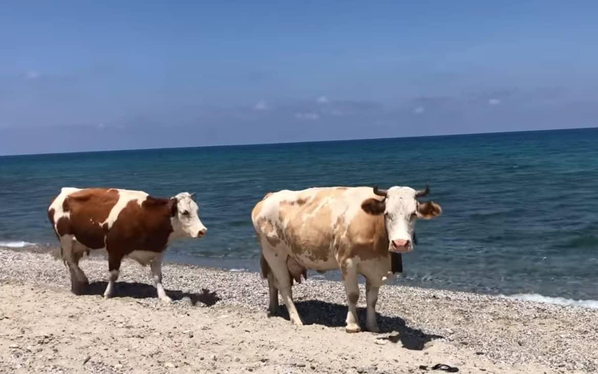 """In Sicilia anche le mucche """"prendono il sole"""", bovini a spasso tra i bagnanti in spiaggia – VIDEO"""