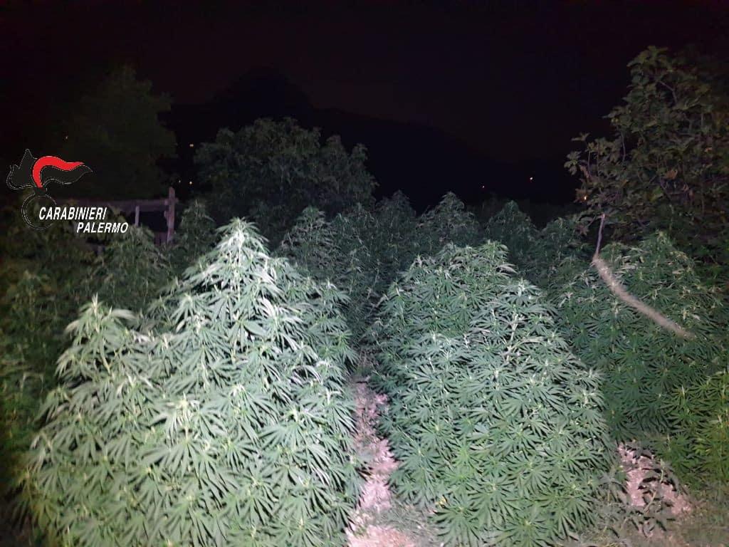 Immensa piantagione di cannabis a conduzione familiare: 3 arresti e 2 denunce